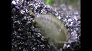 Гаммарус   маленький рачок бокоплав