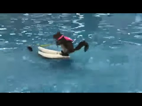 Twiggy the Water skiing Squirrel in action in Detroit
