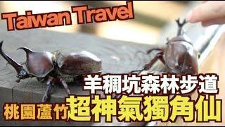《Taiwan Travel》桃園蘆竹羊稠坑森林步道,從來沒看過這麼多獨角仙【我是老爸 I'm Daddy】