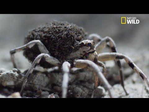 naissance d 39 araign es se prot geant de leur propre m re. Black Bedroom Furniture Sets. Home Design Ideas