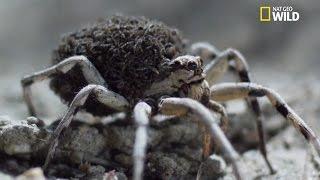 Naissance d'araignées se protégeant de leur propre mère