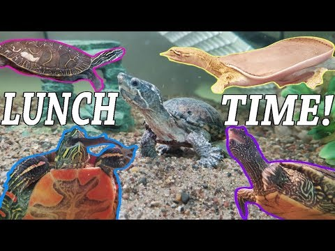 Feed My Pet Friday: Softshell, Painted, Map, And Musk Turtles!