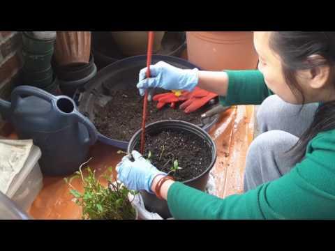 Gieo hạt bầu, bí, mướp - New York / Plant Italian squash, sponge squash