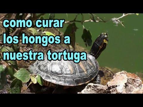 Como curar los hongos a las tortugas de agua