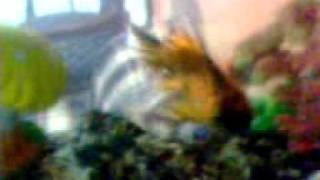 goldfish 3 cobre