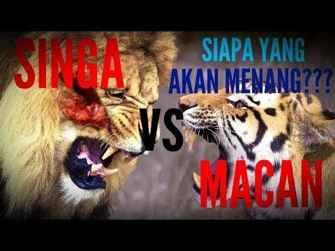 Download Singa Vs Harimau : Pertarungan Perebutan Tahta Raj