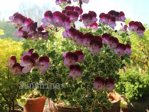 Balcony Pelargoniums in April ( 2019 )