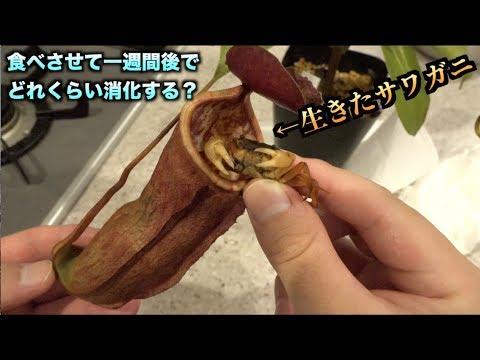 巨大食虫植物に生きたサワガニを食べさせたら一週間後の姿が。。。