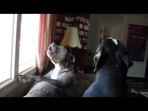 Pit Bulls Howling - We miss daddy