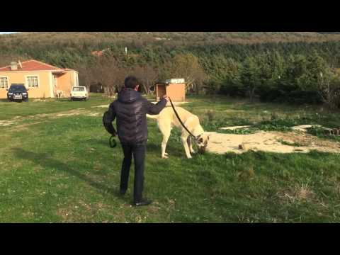 Boz Shepherd Mınık and Şahın Quliyev