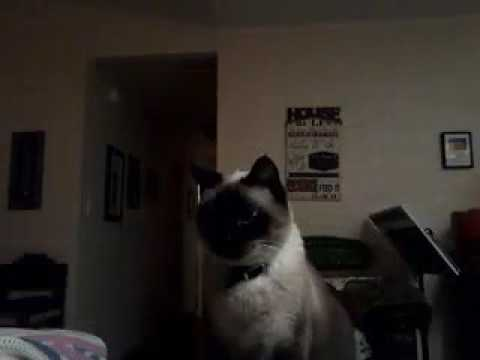 Makara the siamese cat only meows 2x