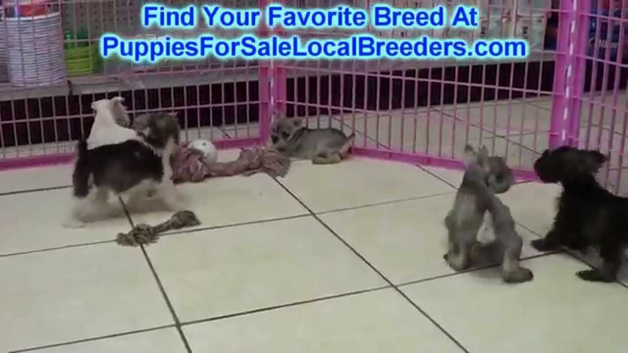 Miniature Schnauzer, Puppies For Sale, In Greenville ...