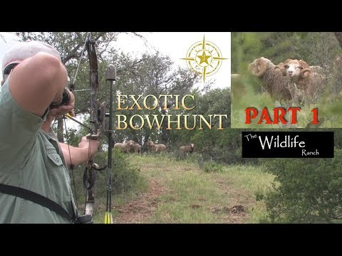 exotic-ram-bow-hunt-part-1