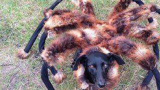 Repeat youtube video كلب على شكل عنكبوت (أقوى كاميرة خفية)