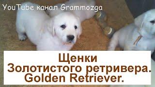 Щенки золотистого ретривера.Голден ретривер.Golden Retriever.Puppies.