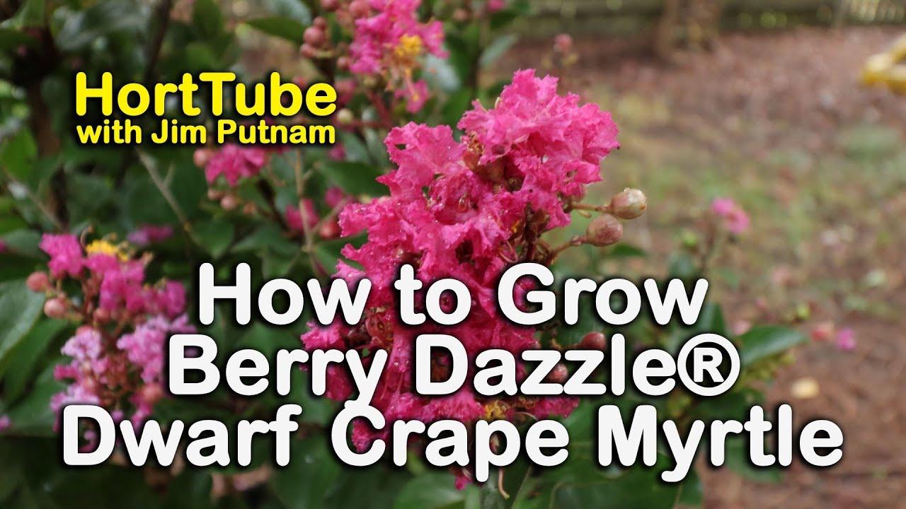 Grow Berry Dazzle Dwarf E Myrtle