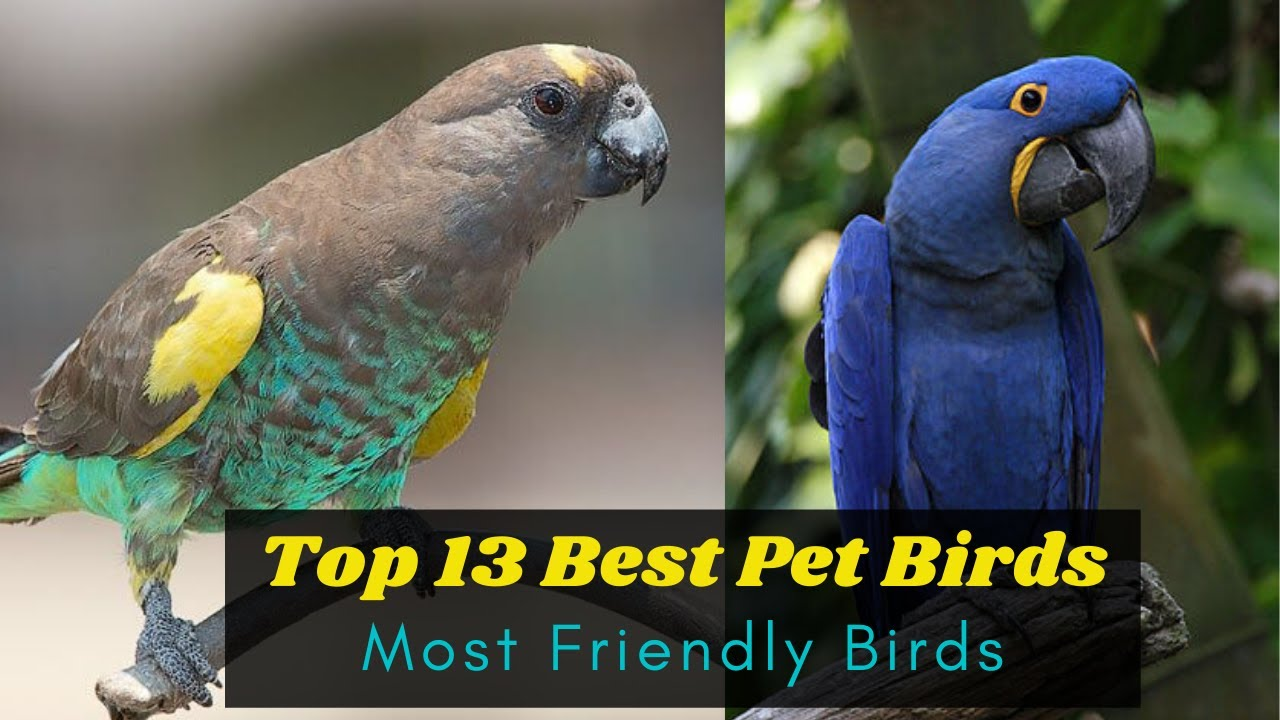 Top 13 Best Pet Birds for beginners -  Most Friendly Birds for Pets - Learning Video