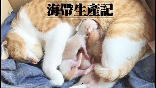 海帶生產記紀錄分娩全過程!糯米超暖男!全程陪產猫の分娩全記録癒される【小明同學TV】寵物vlog#03