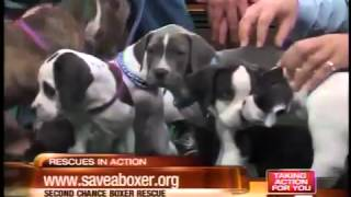 Rescues In Action - Boxer Puppies