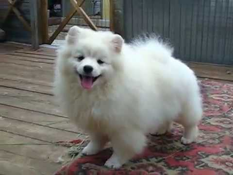 Klein spitz female white color Charissa Perfect Victory Iz Knyaginino, age 5 m. Reserved.