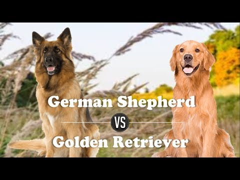 German Shepherd Vs Golden Retriever (Breed Info and comparison)