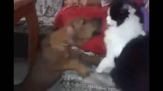 Мама, меня обижают! Котенок 6 месяцев и риджбек 2 месяца | WellDog | Rhodesian Ridgeback Puppy