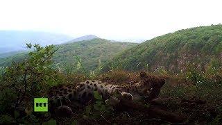 Graban al 'felino más raro del mundo' en el Leopard Park de Rusia