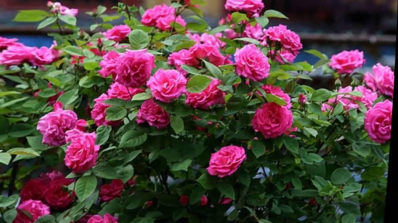 Картинки по запросу ухаживать за розой