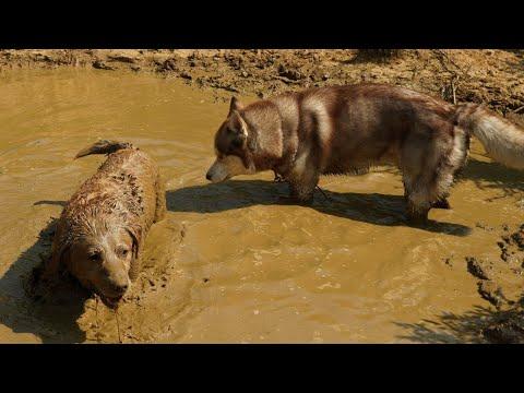 Dogs play in Chocolate | The Himalayan Husky