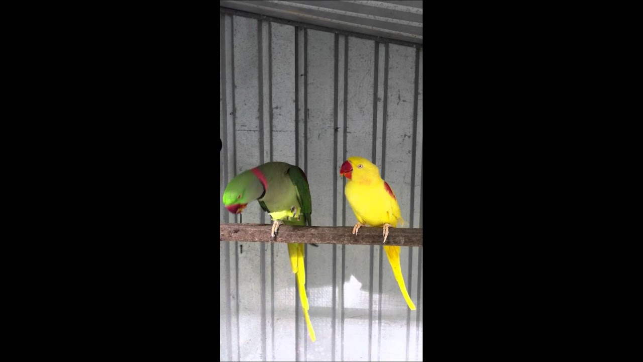how to make alexandrine parrot talk