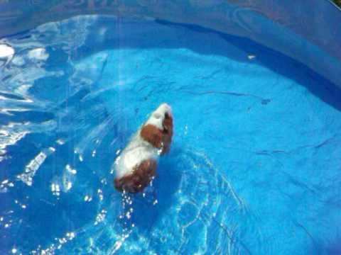 Guinea Pig swim