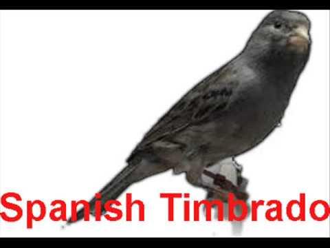 download suara kicau burung kenari spanish timbrado untuk