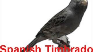 Download suara kicau burung kenari Spanish Timbrado untuk masteran