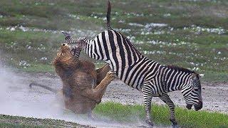 Битва зебр за жизнь.(Лев мгновенно набросился на зебру, обхватив ее круп своими мощными лапами, вонзая клыки в плоть жертвы...., 2014-03-27T07:25:56.000Z)