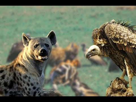 Hyenas & Vultures Brutal Killing #HD - Wild Feeding Moments