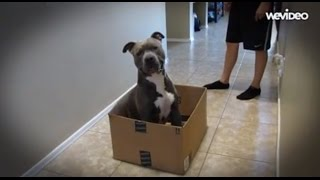Pit Bull Puppy Sabre Rides In Cardboard Box