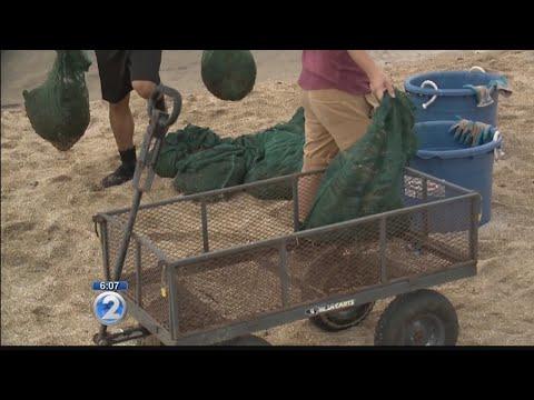 Invasive algae removal