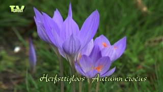 Herfsttijloos - Naked Lady - Colchicum autumnale