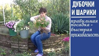 Как сажать мультифлоры осенью  и дубочки чтобы они лучше приживались и зимовали