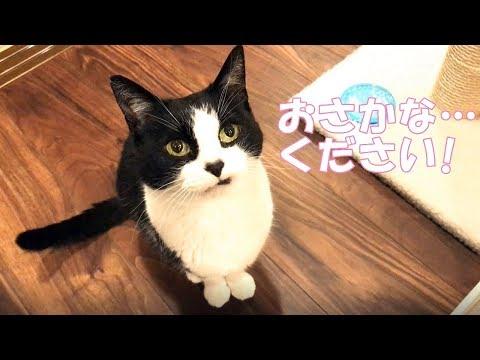 猫、念願のかんぱちのお刺身を食す