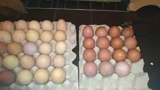 Загрузка инкубатора Золушка на 70 яиц