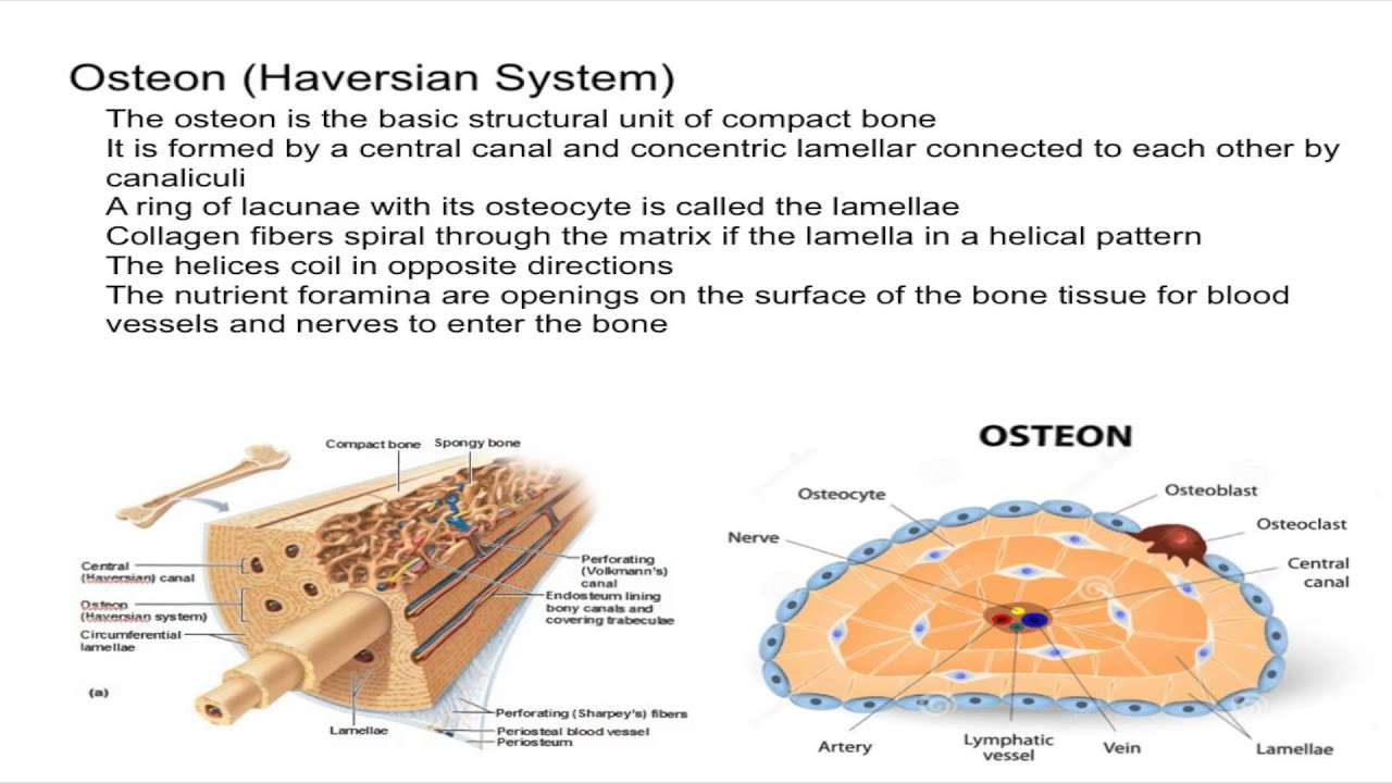 hight resolution of osteon harvesian system