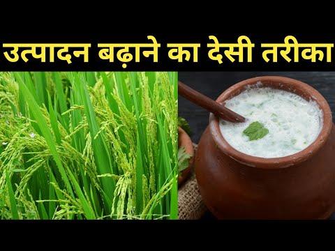 धान की खेती में उत्पादन बढ़ाने के लिए खट्टी लस्सी कामयाब|organic fungicide for paddy farming