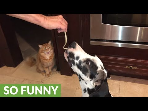 Great Dane learns patience sharing pasta with cat