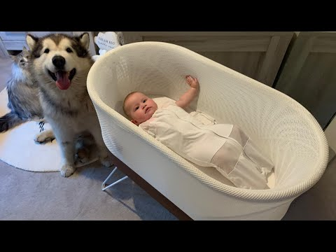 Going To Sleep With Malamutes And Baby, This Is Our Night Time Routine. (Cutest Doggos Ever!!)