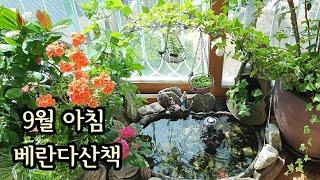 9월 아침 베란다정원 산책/국화,연못,애니시다,아이비,…
