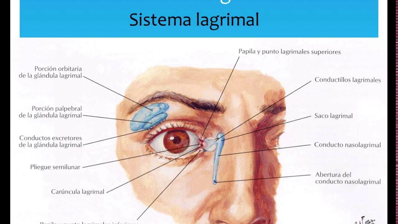 Anatomia ocular - YouTube