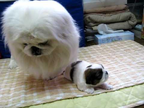 ペキニーズ ピースと赤ちゃん