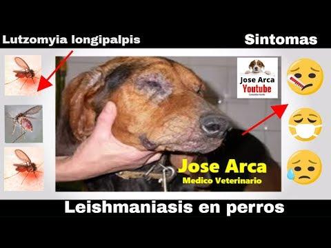 Leishmaniasis en perros - Síntomas característicos y formas de prevenir