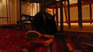 Dwarf rabbit Rocky playing, running and jumpung - funny video